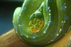 Serpiente verde Fotos de archivo libres de regalías