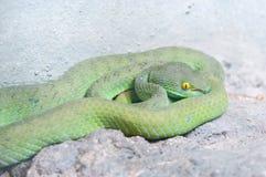 Serpiente verde Foto de archivo libre de regalías
