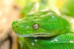 Serpiente verde Fotografía de archivo