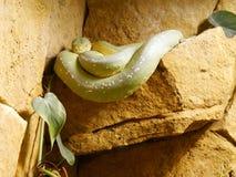 Serpiente verde curiosa fotografía de archivo
