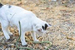 Serpiente verde de la pelea de gatos blanca en el jardín sucio desordenado, peligro Imágenes de archivo libres de regalías