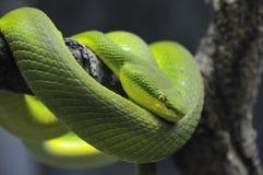Serpiente verde de la víbora de hueco del árbol fotografía de archivo