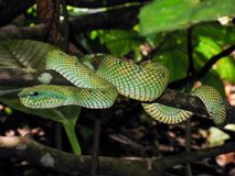 Serpiente verde de la víbora en árbol Fotografía de archivo
