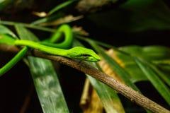 Serpiente verde del árbol Imagenes de archivo