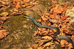 Serpiente verde del árbol, punctulatus de Dendrelaphis, Foto de archivo