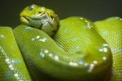 Serpiente verde del pitón del Scrunch fotografía de archivo
