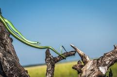 Serpiente verde delgada, estirada entre las ramas de árbol muertas