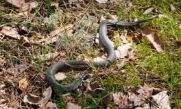 Serpiente verde en la hierba en la serpiente de hierba del bosque en cierre del ambiente del bosque para arriba La víbora La serp Imágenes de archivo libres de regalías