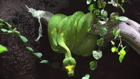 Serpiente verde en una rama en la selva tropical lista para atacar la presa almacen de metraje de vídeo