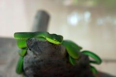 Serpiente verde que se arrastra en una rama Foto de archivo libre de regalías