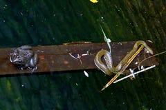 Serpiente y rana Imágenes de archivo libres de regalías