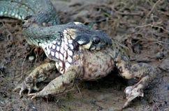 Serpiente y rana Imagen de archivo libre de regalías