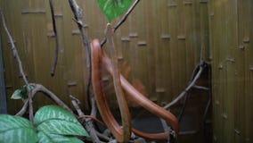 Serpiente y tortuga de rata de Tejas en lindheimeri del obsoleta del Elaphe del terrario almacen de video