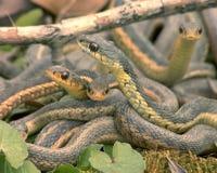 Serpientes fotos de archivo