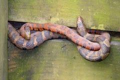 Serpientes de agua Imagenes de archivo