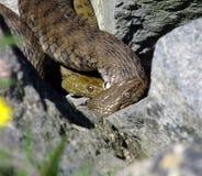 Serpientes de hierba Fotos de archivo