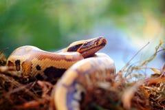 Serpientes de Pythoniane imagenes de archivo