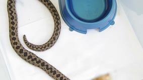 Serpientes en un terrario: víbora del prado - ursinii del Vipera, cierre para arriba almacen de video