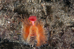 Serpula (gusano de mar) Imágenes de archivo libres de regalías