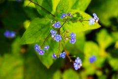 Serpyllifolia do appalachian Bluet - do Houstonia imagens de stock