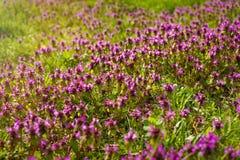 Serpyllum de thymus de thym sauvage Un groupe dense de fleurs pourpres de cette herbe aromatique dans le Lamiaceae de famille Photos stock