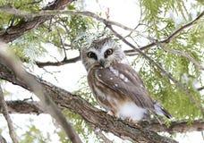 Serra-afiar a coruja que roosting em um ramo de ?rvore do cedro durante o inverno em Canad? imagens de stock royalty free