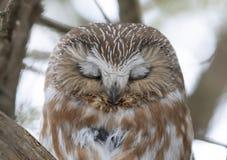 Serra-afiar a coruja que roosting em um ramo de ?rvore do cedro durante o inverno em Canad? fotografia de stock royalty free