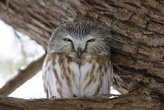 Serra-afiar a coruja que roosting em um ramo de ?rvore do cedro durante o inverno em Canad? fotos de stock royalty free