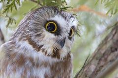 Serra-afiar a coruja que roosting em um ramo de ?rvore do cedro durante o inverno em Canad? foto de stock