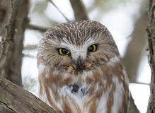Serra-afiar a coruja que roosting em um ramo de ?rvore do cedro durante o inverno em Canad? imagens de stock