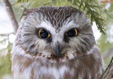 Serra-afiar a coruja que roosting em um ramo de ?rvore do cedro durante o inverno em Canad? fotos de stock
