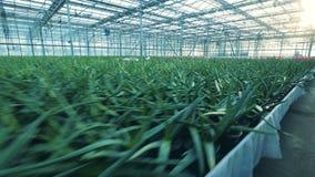 Serra con i lotti dei tulipani che crescono in una terra archivi video