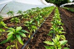 Serra con la pianta e l'irrigazione a goccia del pepe immagini stock libere da diritti