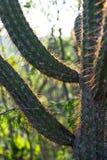Serra da Capivara, PI,巴西仙人掌  库存图片