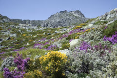 Serra da Estrela avec les fleurs alpines au Portugal Images stock