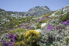 Serra da Estrela med alpina blommor i Portugal Arkivbilder