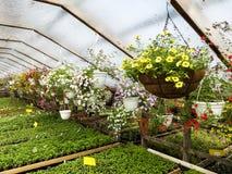 Serra del fiore fiori crescenti nell'inverno immagini stock
