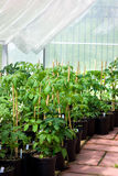 Serra del giardino con le piante di pomodori Immagini Stock Libere da Diritti
