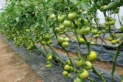 Serra del policarbonato per i pomodori crescenti Fotografia Stock Libera da Diritti