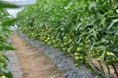Serra del policarbonato per i pomodori crescenti Immagine Stock