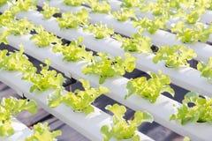 Serra di coltura idroponica Insalata verde organica delle verdure nell'azienda agricola di coltura idroponica Immagini Stock