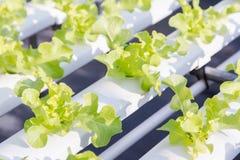 Serra di coltura idroponica Insalata verde organica delle verdure nell'azienda agricola di coltura idroponica Fotografia Stock