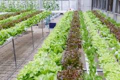 Serra di coltura idroponica Insalata verde organica delle verdure nell'azienda agricola di coltura idroponica Fotografia Stock Libera da Diritti