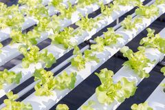 Serra di coltura idroponica Insalata verde organica delle verdure nell'azienda agricola di coltura idroponica Immagine Stock