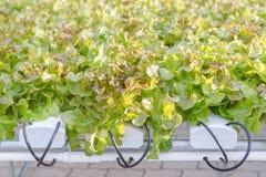 Serra di coltura idroponica Insalata verde organica delle verdure nell'azienda agricola di coltura idroponica per progettazione d Fotografia Stock Libera da Diritti