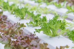 Serra di coltura idroponica Insalata verde organica delle verdure nell'azienda agricola di coltura idroponica per progettazione d Immagini Stock