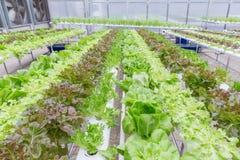 Serra di coltura idroponica Insalata verde organica delle verdure nell'azienda agricola di coltura idroponica per progettazione d Immagine Stock Libera da Diritti