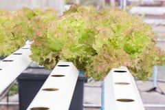 Serra di coltura idroponica Insalata verde organica delle verdure nell'azienda agricola di coltura idroponica per progettazione d Fotografie Stock Libere da Diritti