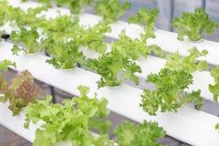 Serra di coltura idroponica Insalata verde organica delle verdure nell'azienda agricola di coltura idroponica per progettazione d Immagine Stock