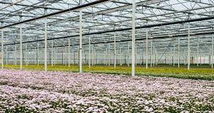 Serra di una scuola materna del fiore da taglio con i crisantemi di fioritura Fotografia Stock Libera da Diritti